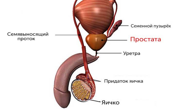 Строение мужской репродуктивной системы