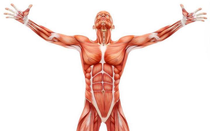 Костно-мышечная система мужчины