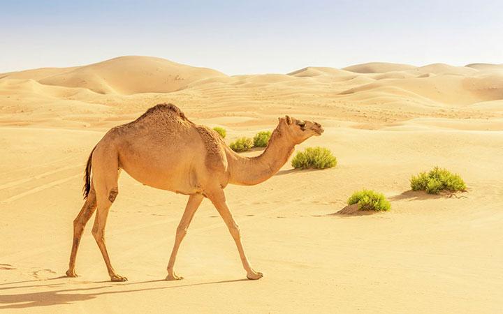 Сычужина - желудок верблюда