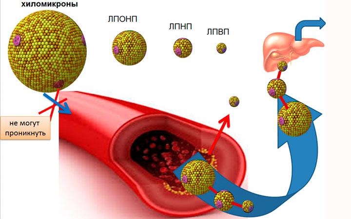 Липопротеиды высокой, низкой и очень низкой плотности