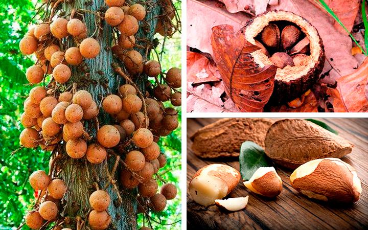 Как выглядит бразильский орех