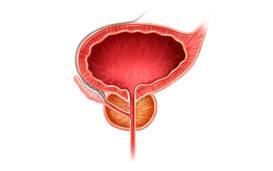 Функции, строение и болезни предстательной железы